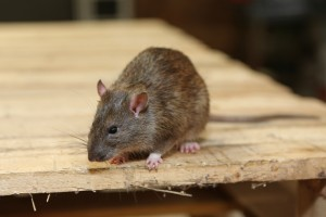 Rodent Control, Pest Control in West Wickham, BR4. Call Now 020 8166 9746
