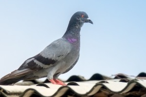 Pigeon Control, Pest Control in West Wickham, BR4. Call Now 020 8166 9746