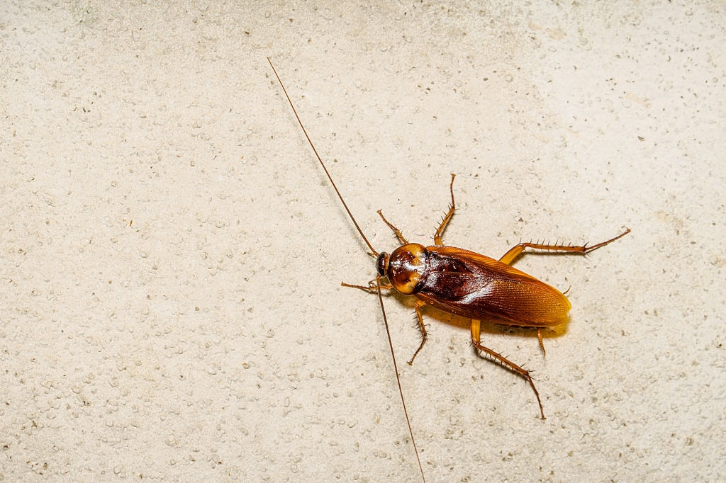 Cockroach Control, Pest Control in West Wickham, BR4. Call Now 020 8166 9746