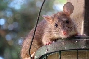 Rat Control, Pest Control in West Wickham, BR4. Call Now 020 8166 9746