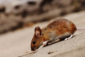Mouse extermination, Pest Control in West Wickham, BR4. Call Now 020 8166 9746